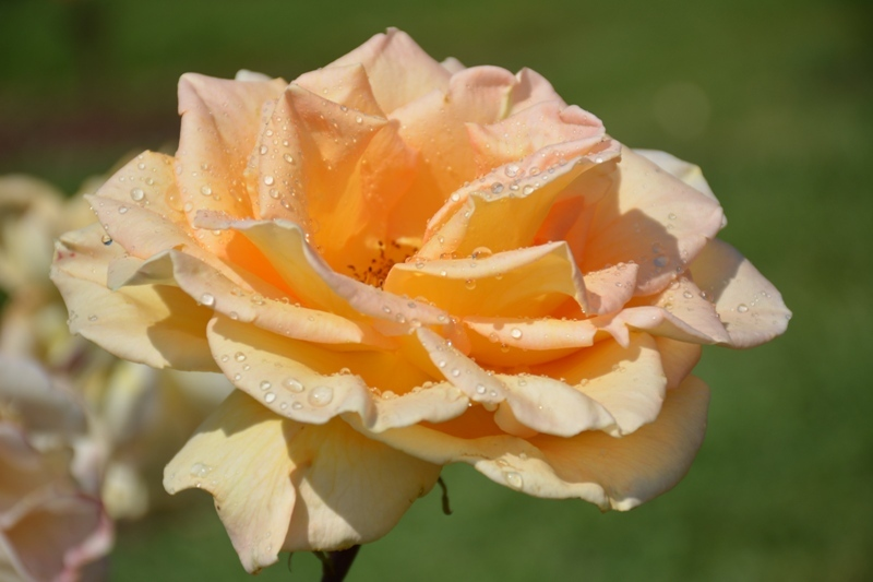 Roses al parc 12
