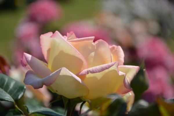 Roses al parc 13