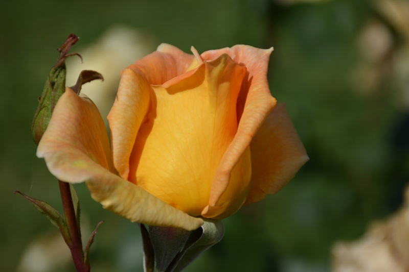 Rosa ataronjada