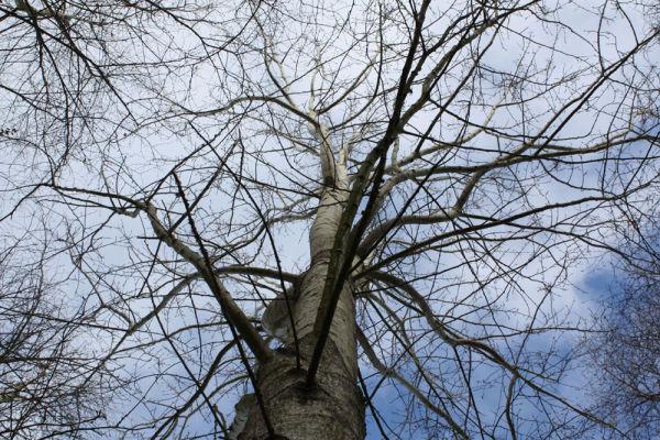 Looking up at single tree