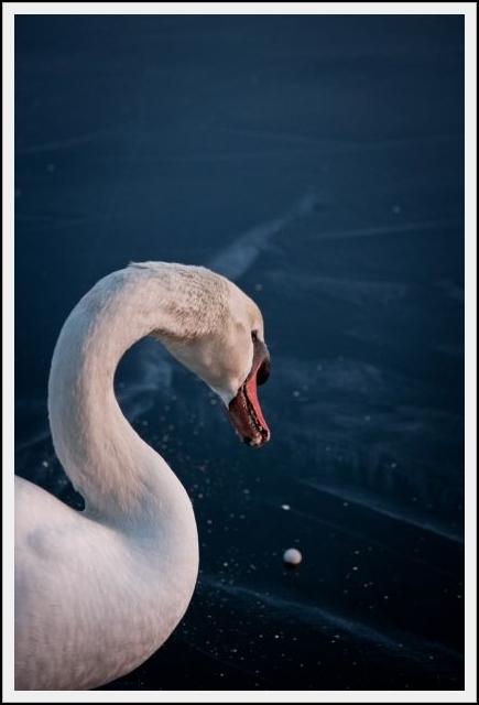 BlueSwan