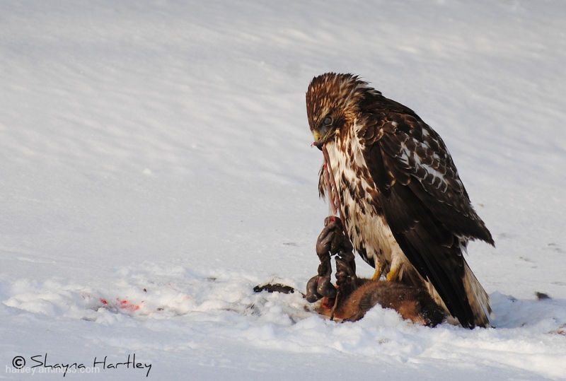 Red Tailed Hawk eating muskrat Pt.3
