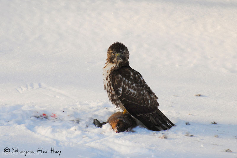 Red Tailed Hawk eating muskrat Pt. 4