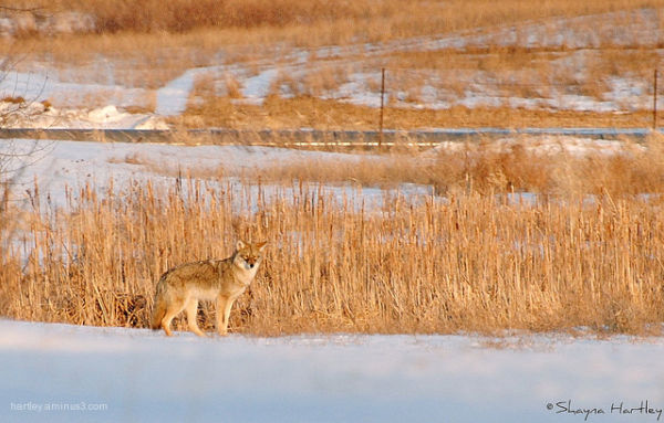Sunset Coyote