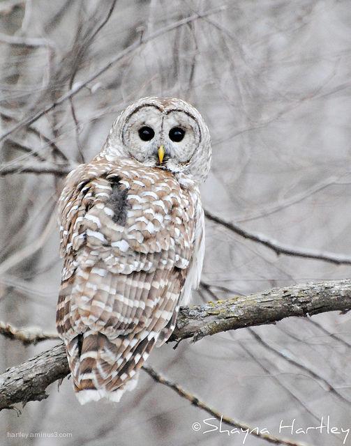 Still around (Barred Owl)