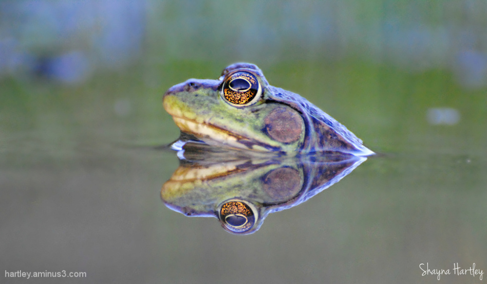 Green Frog Reflection