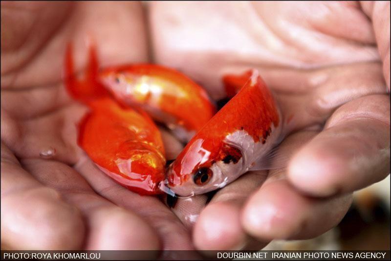 ماهی قرمز هفت سین