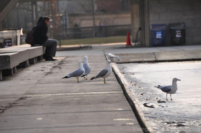 Sea Gulls by the skating rink