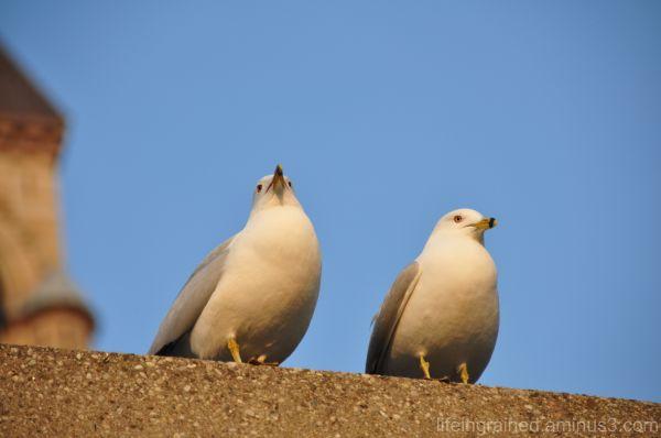 A pair of sea gulls