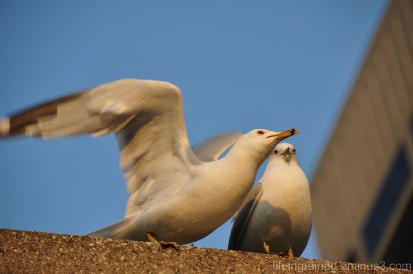 A sea gull leaving mate