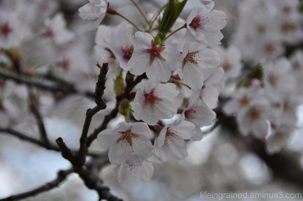 Sakura in Toronto
