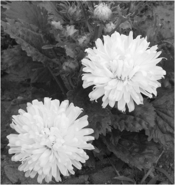 White flowers in monochrome