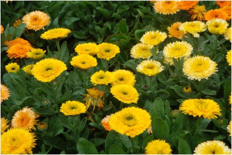 Flowers Marigolds