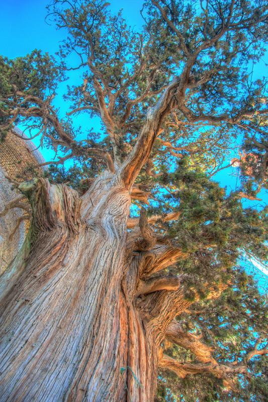درخت نهصد ساله