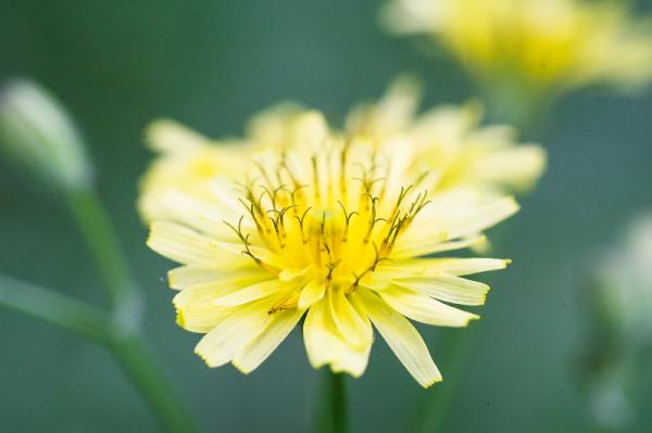 گل بهار