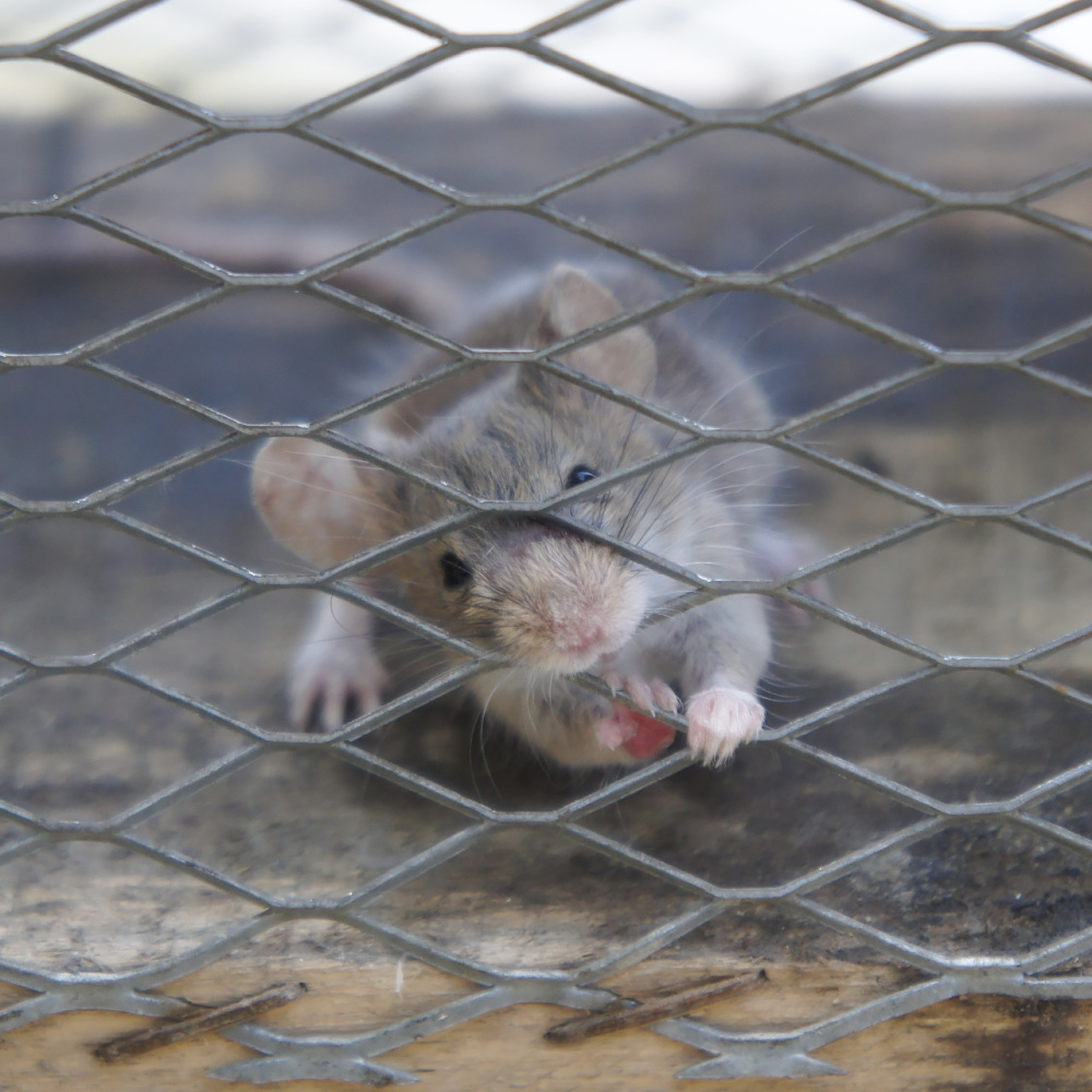 trapped mouse