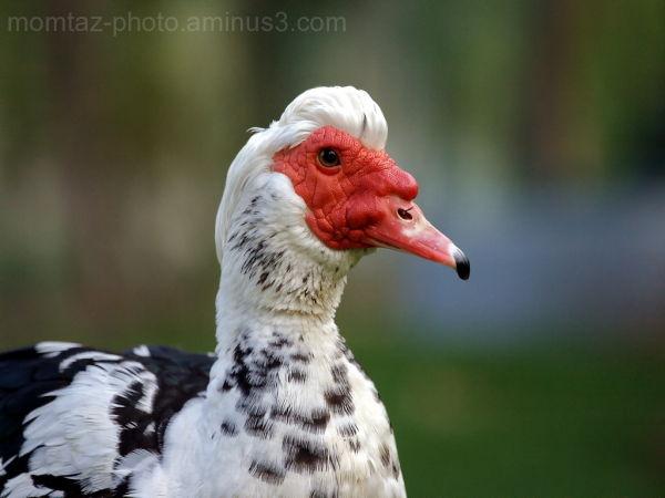 Agley Duck 2