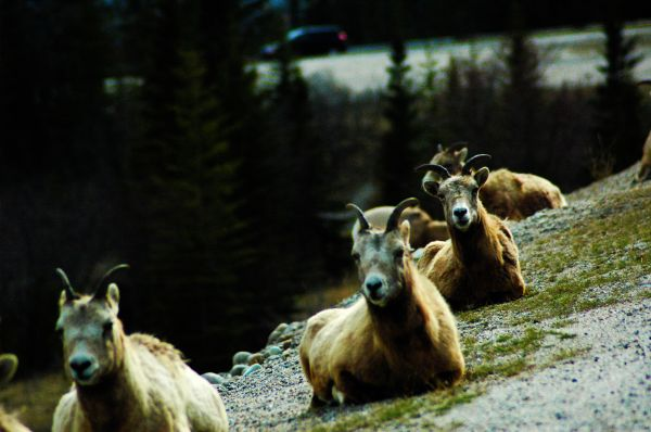 rams just hanging out in Jasper, AB