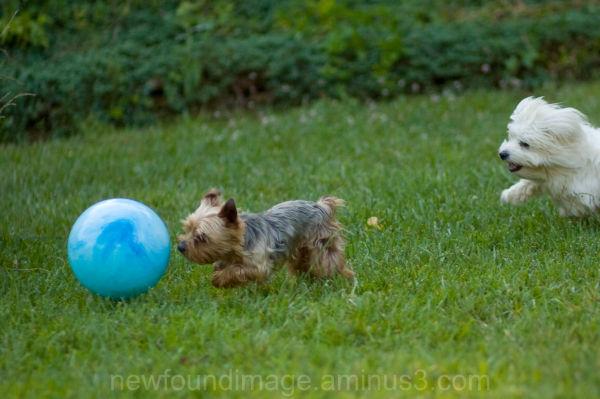 Dog chasing ball.