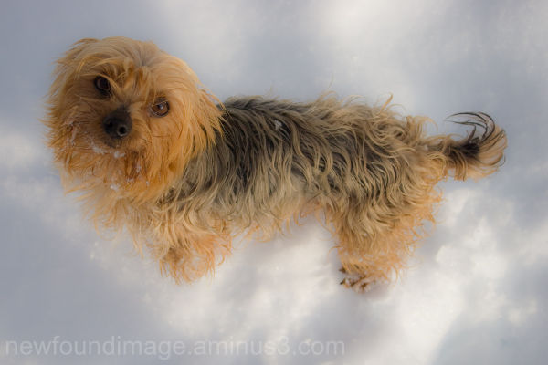 Yorkie in the snow.