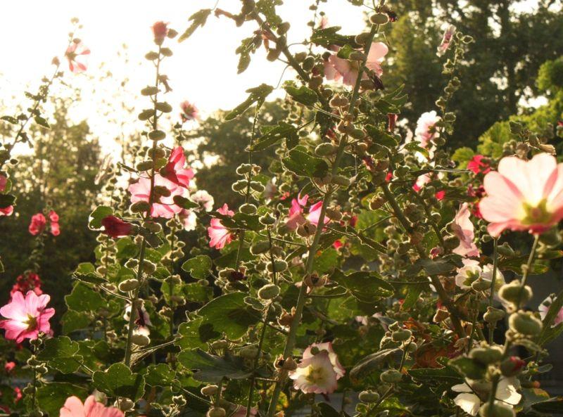 pinks in light