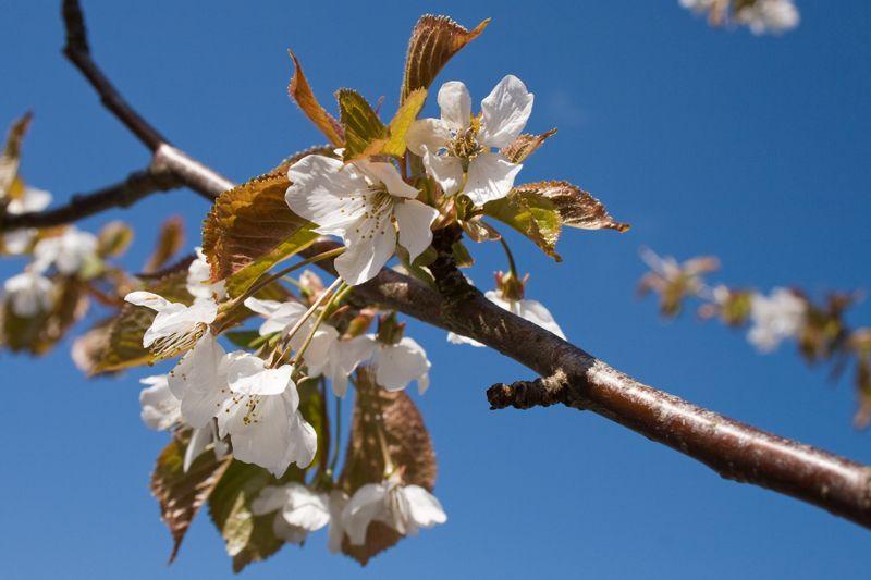 White blossom blue sky