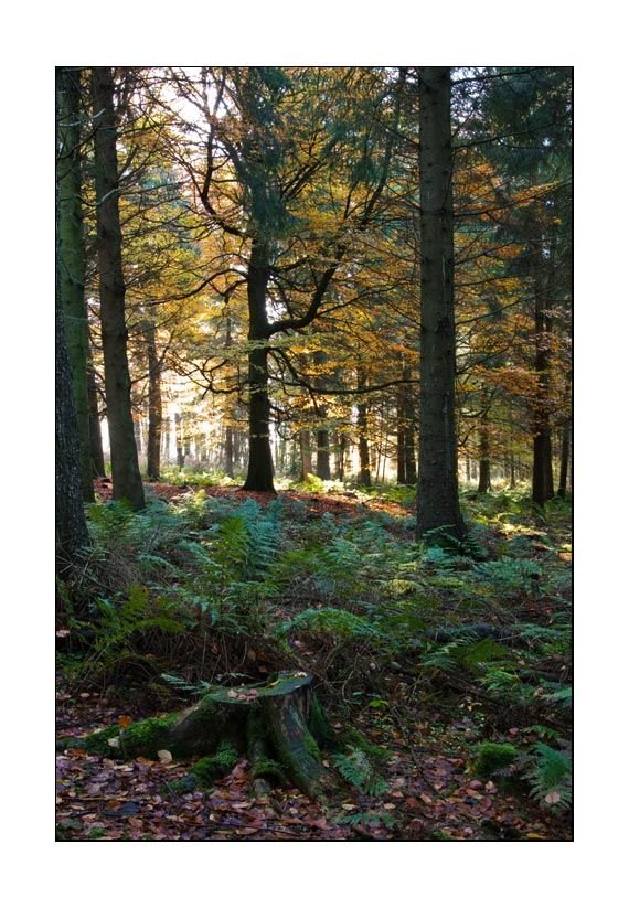 autumn leaves in a coniferous forest