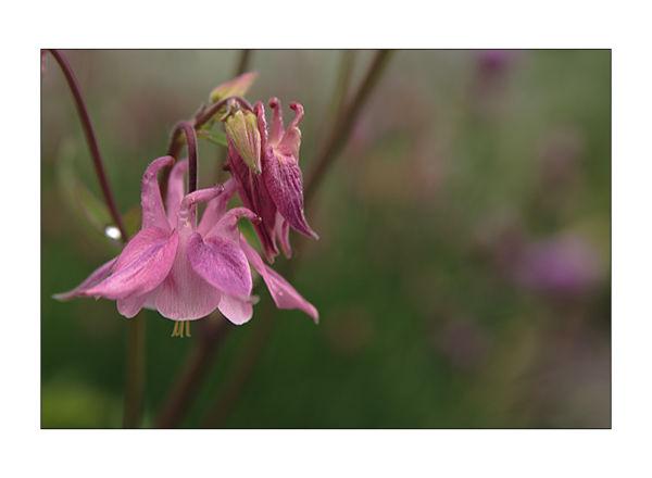 aquilegia pink flower