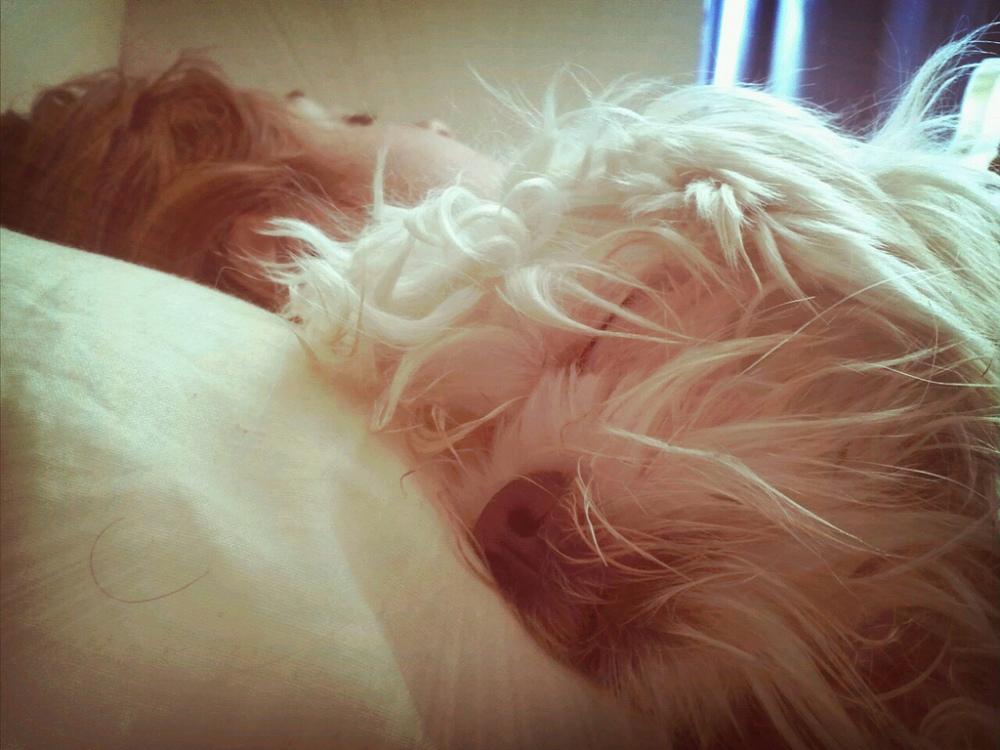 clementina maltese maltes dog puppy pet