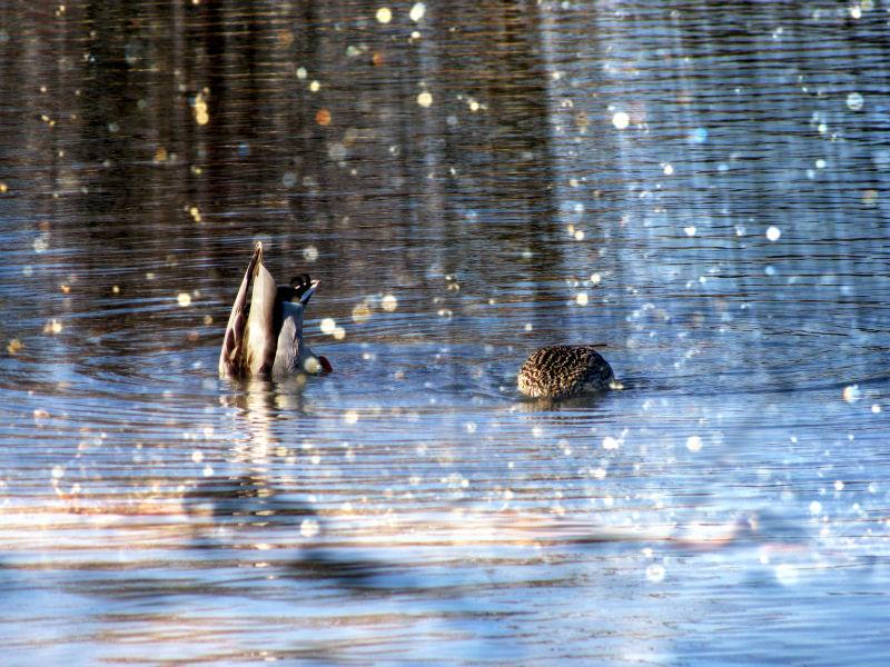 Ducks Diving .... Ducks on sparkling water