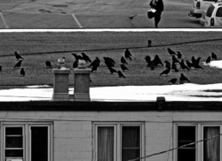 Black Birds on the Roof