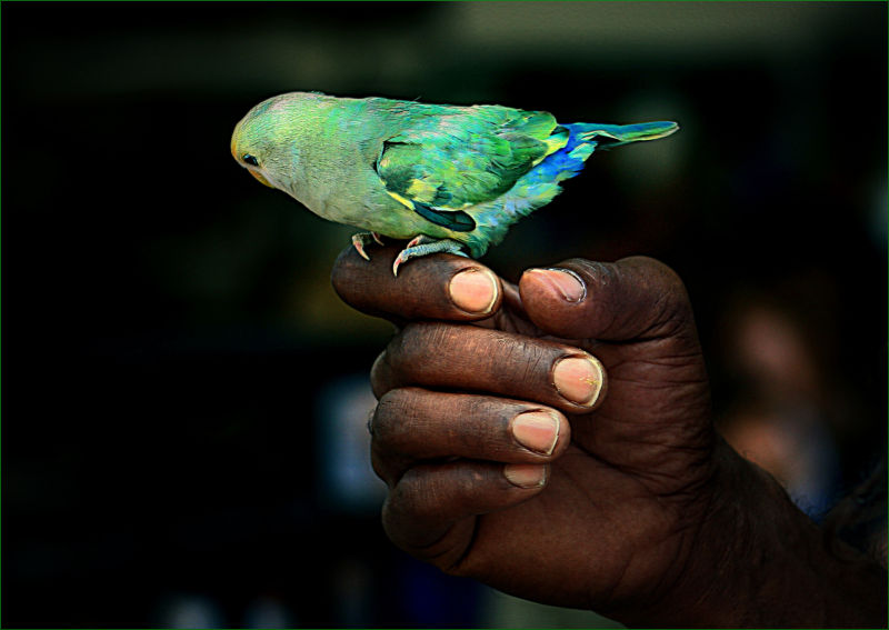 The Parrot on the Hand