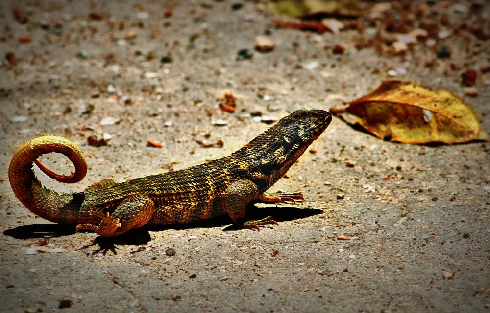 Cuba Iguana