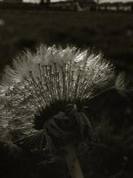 In Dandelions World