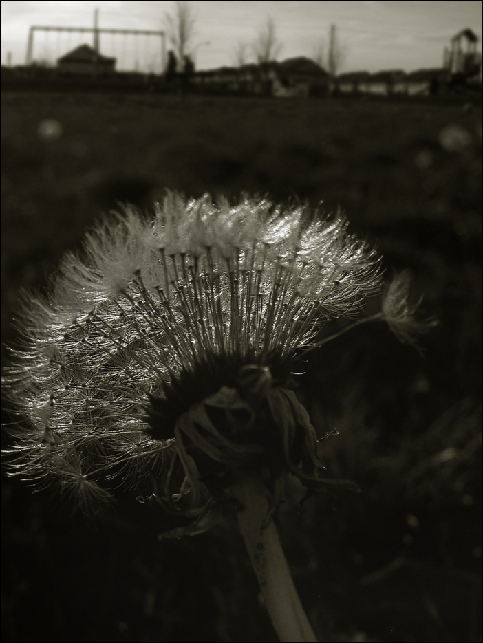 In Dandelions World