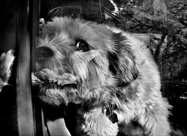 Dog In a Car, Barking