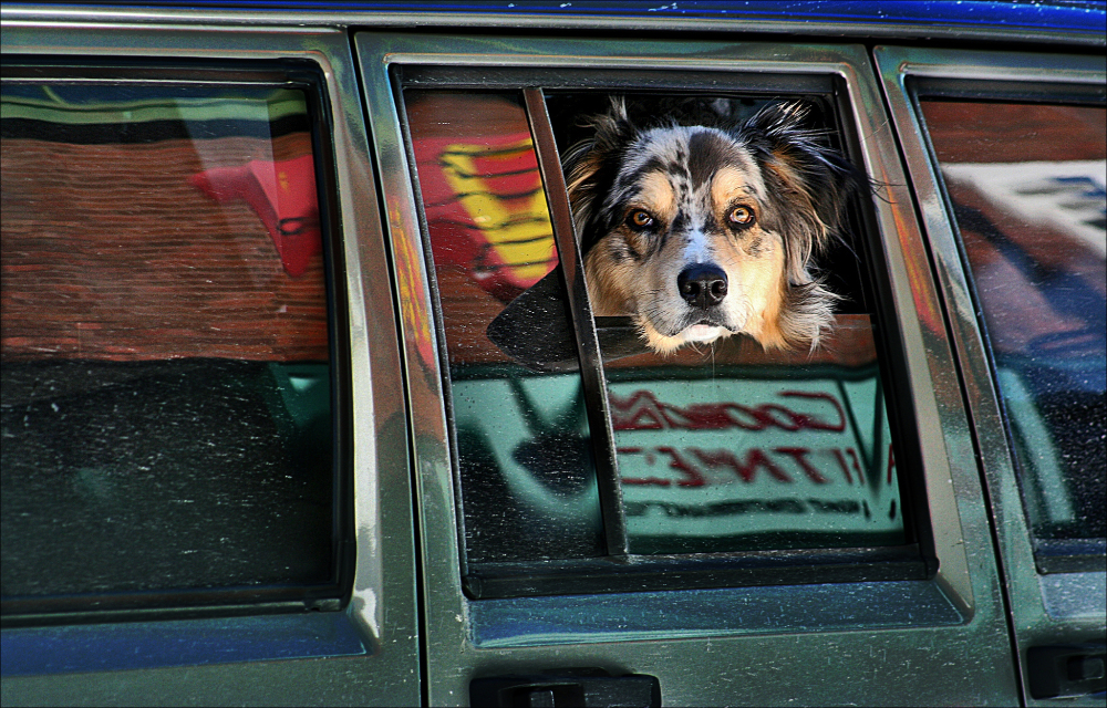dog observer