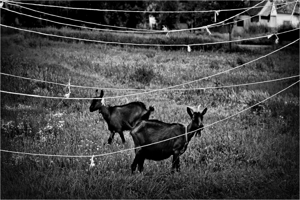 Two Goats and Ropes