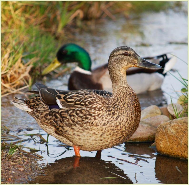 a duck couple