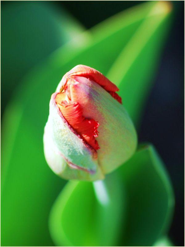 red tulip bud