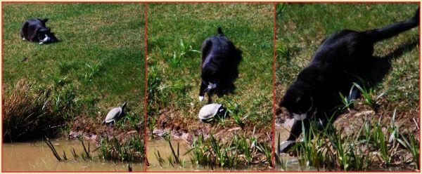 cat catching a turtoise