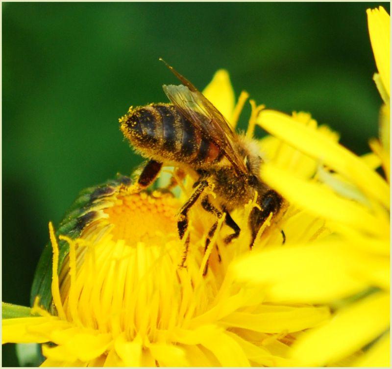 a bee on a dandelion
