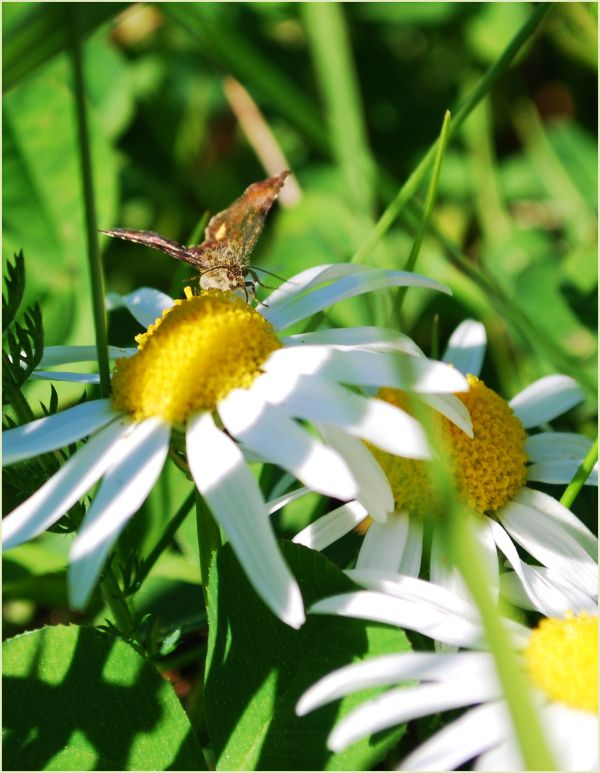 butterfly on daisy