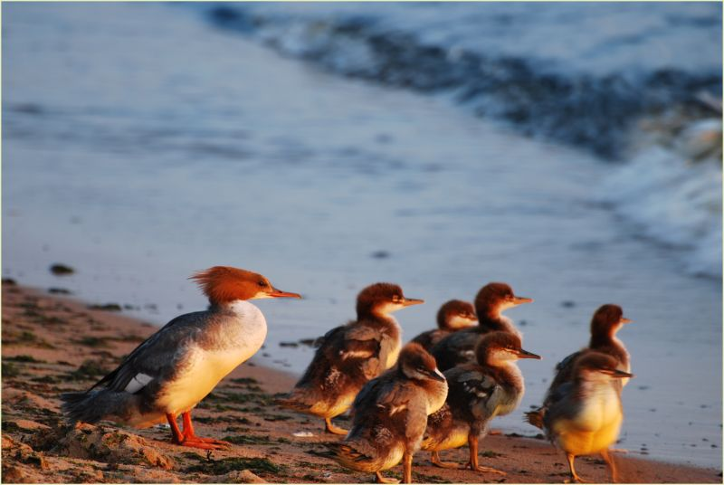 a duck family at the sea