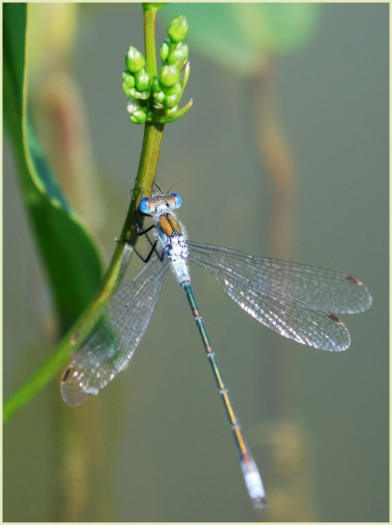 pale blue dragonfly
