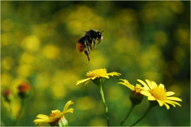 Bumblebee landing on a flower