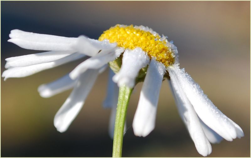 flower in frost