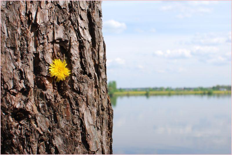 dandelion in trea trunk near daugava river
