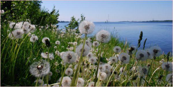 dandelions on river daugava backgound
