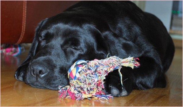 black labrador sleeping